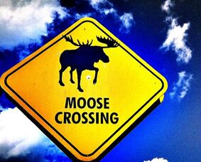 moose crossing animal sign